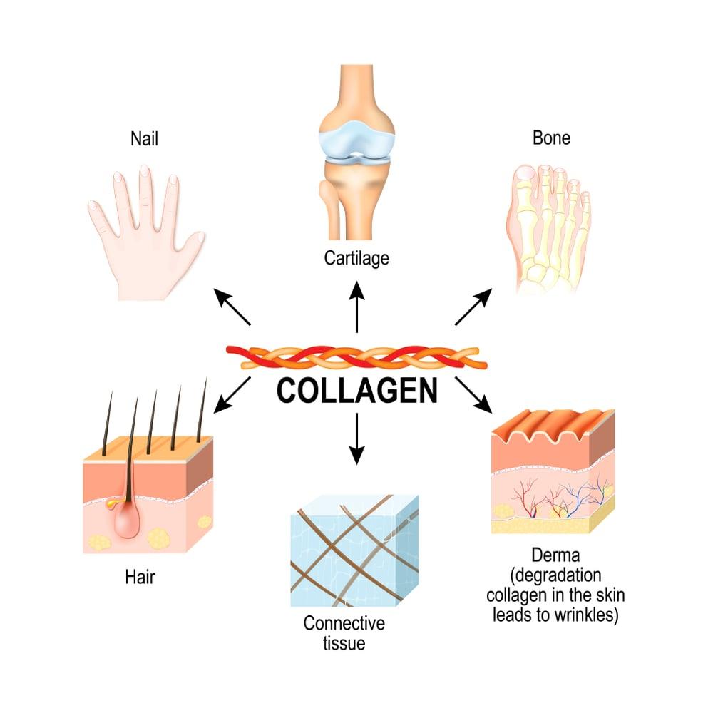 Collagen có ở mọi nơi trong cơ thể chúng ta
