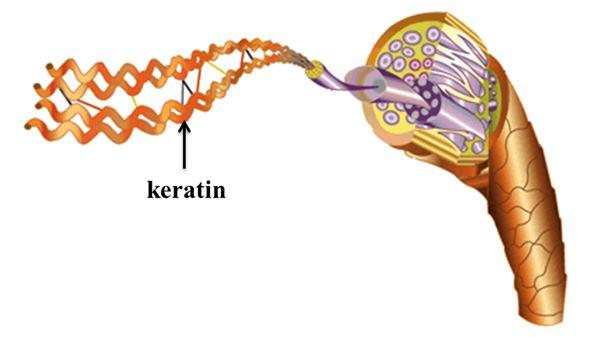 Keratin là thành phần quan trọng giúp tóc khỏe đẹp